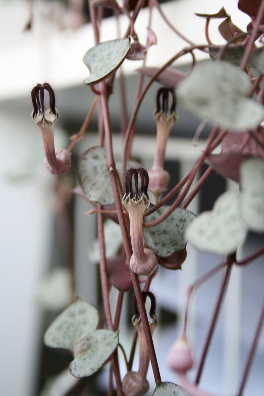 800px-Ceropegia_woodii_leaves_and_flowers.jpg