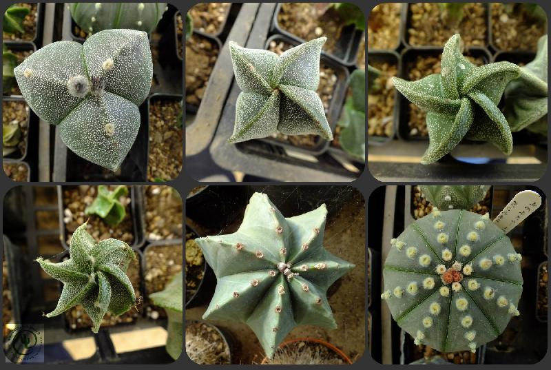 Collage_myastrophytum.jpg