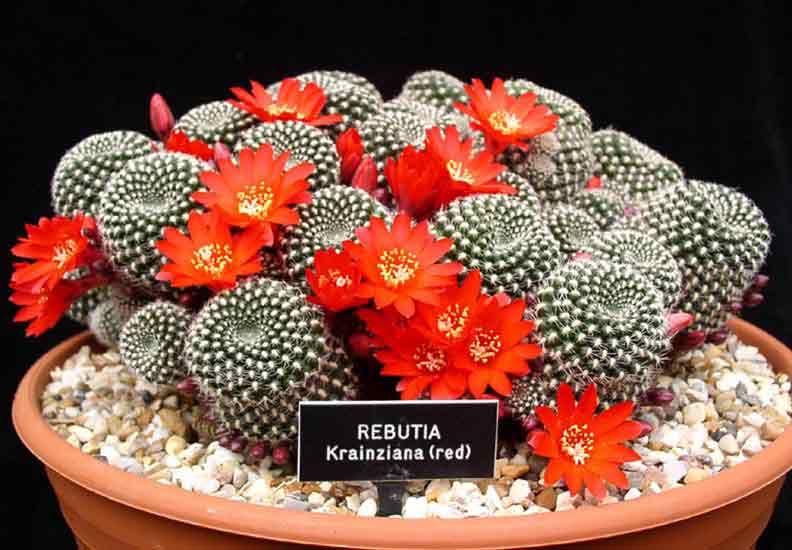 rebutia-krainziana-red-copy.jpg