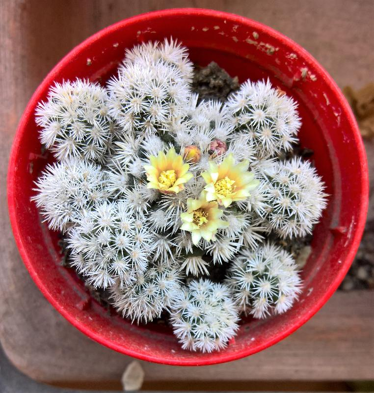 Mammillaria_gracilis_Arizona_snow_fior._Apr._17.jpg