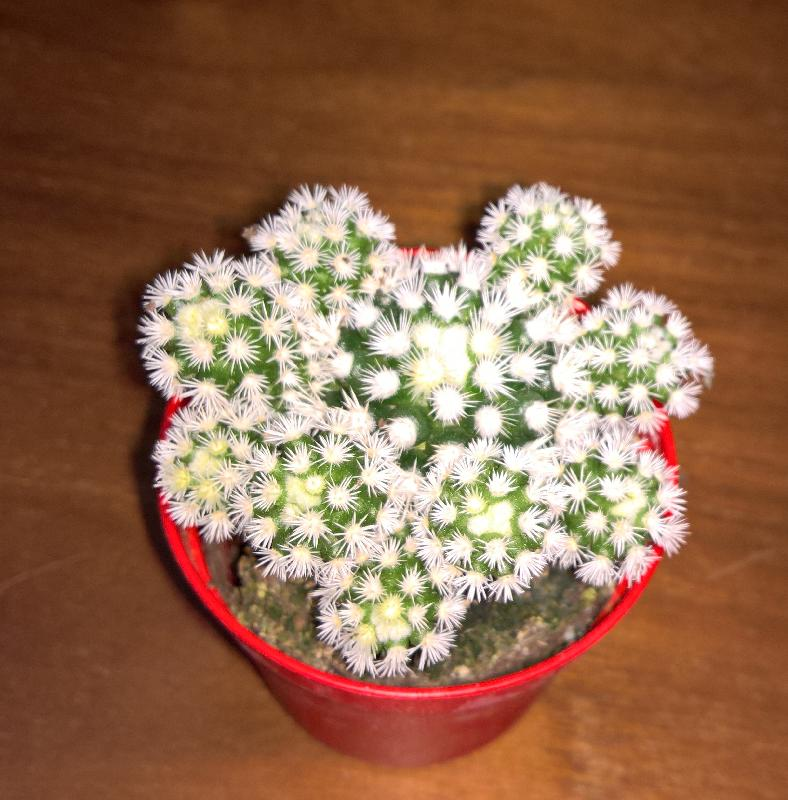 Mammillaria_gracilis_Arizona_snow_type.jpg