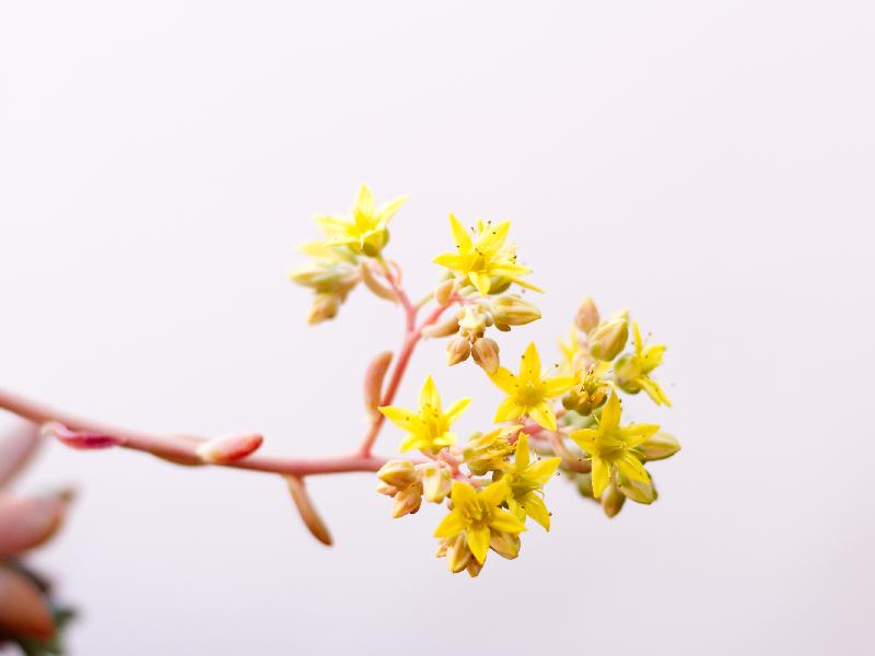 sedum_sp_flower.jpg